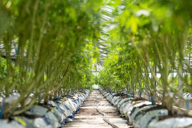 Hemp originates from the Cannabis sativa