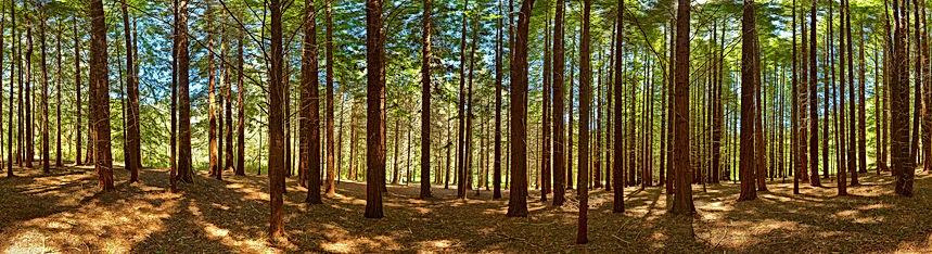 Sequoia Forest, Otway National Park