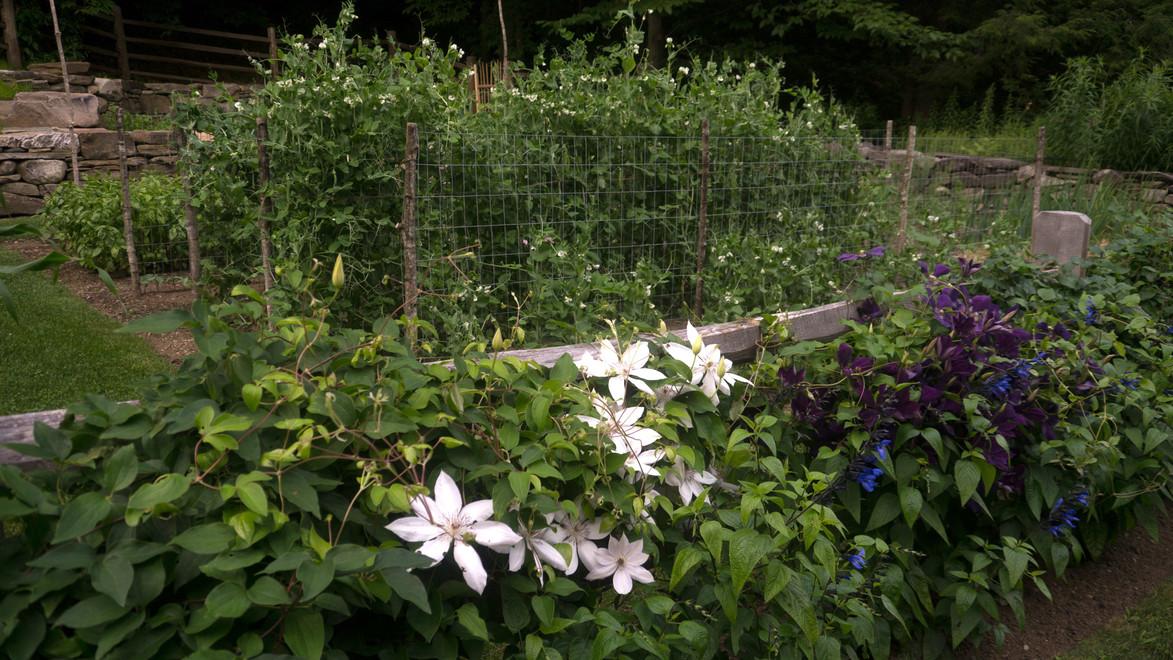 Clematis at vegetable garden