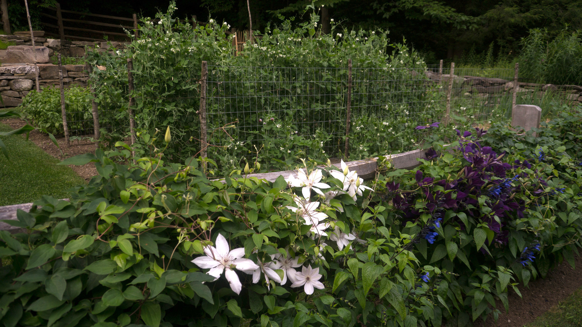 Clematis at vegetable garden