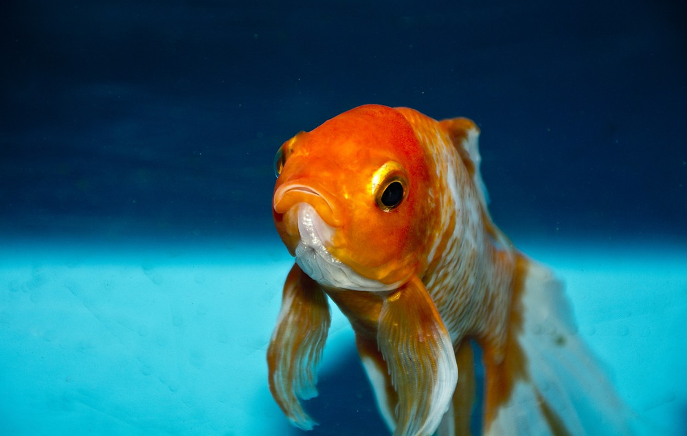 Goldfish have a better attention span than humans.