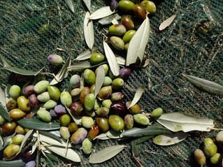 Olive harvest, white truffles and trapadare