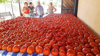 Gnarled Tomatoes