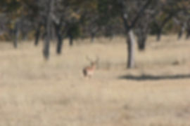 impala big horns 3.jpg