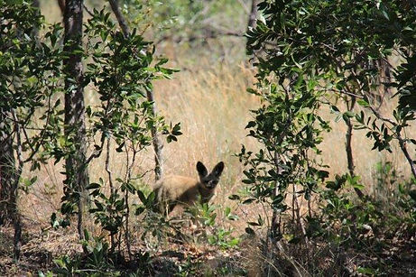 bat eared fox 7.jpg