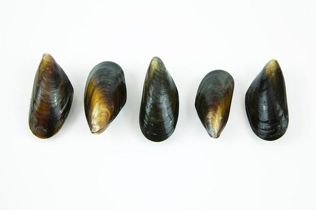 Mussels species image