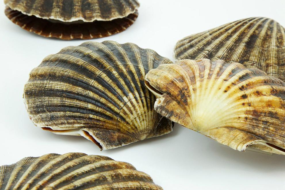 King Scallops species image