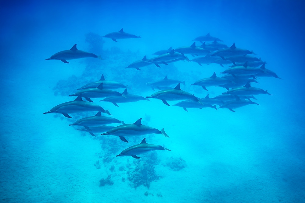 A pod of dolphins swimming underwater