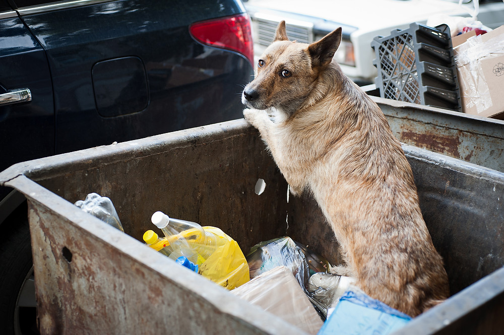 Dog rummaging in the trash, or tossed in the garbage?