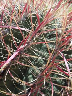 Cactus Barrel close-up
