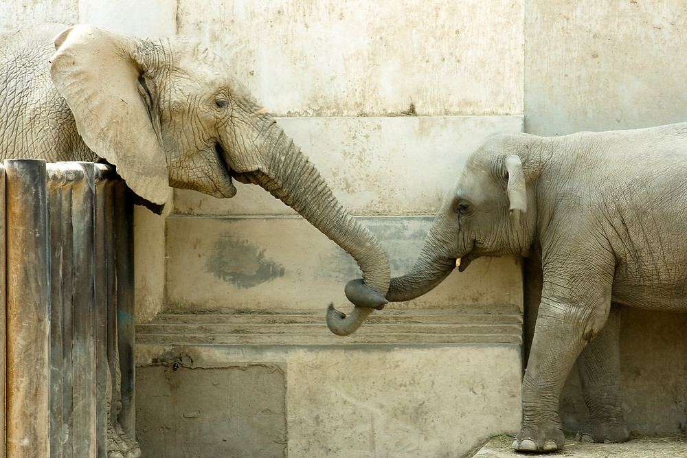 Mother and child elephant affectionately holding trunks