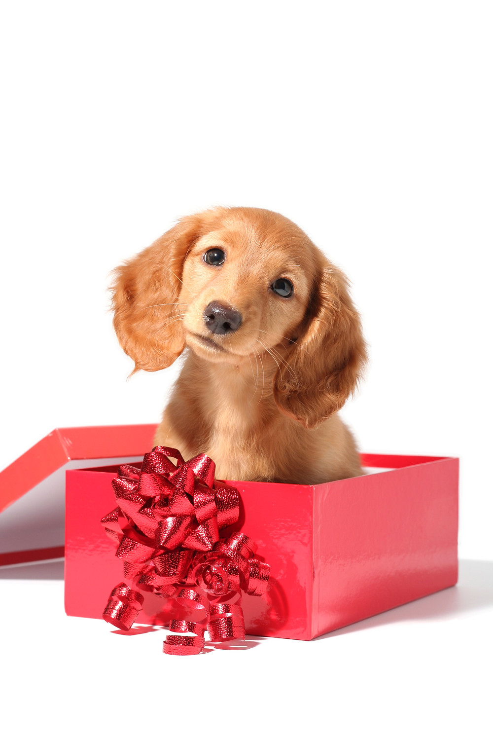 A puppy sitting in a box with a bow: the perfect gift?