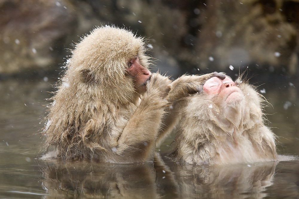 "Japanese macaques, ""snow monkey,"" grooming one another in a hot spring"