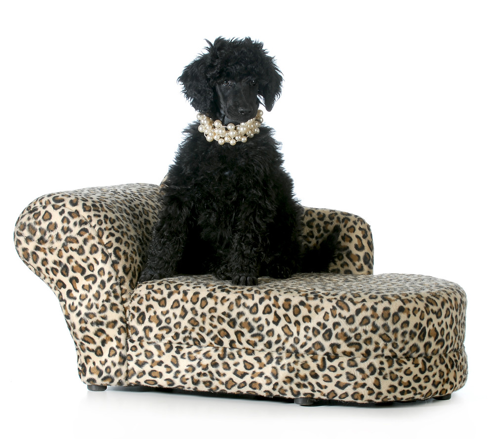 A black standard poodle atop an stylishly upholstered dog bed
