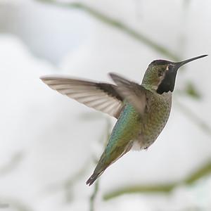 Hummingbirds through the Seasons