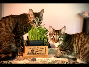 Cat Grass, Recommended by Researchers