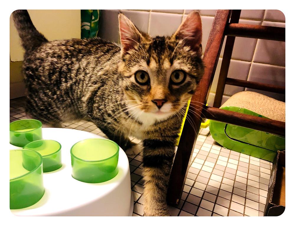 Oscar, my foster kitten.
