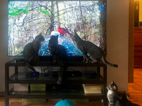Cat TV - Prime shows are a hit!