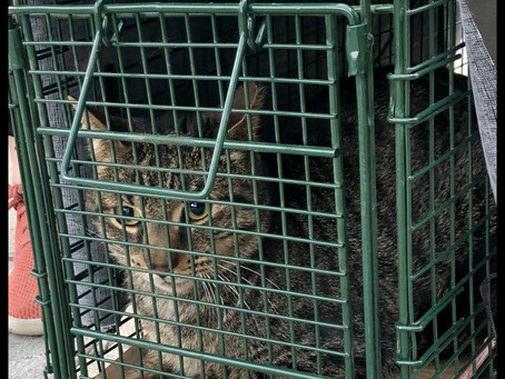 Trapping Community Cat on Our Complex