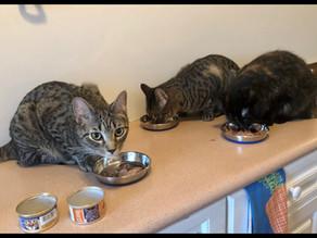 Replacing My Cat's Favorite Food: Nutro's Max Cat