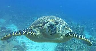 roatan-turtles.jpg