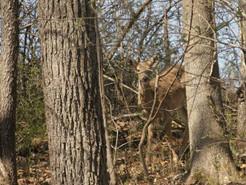 MoCo Seeks Public Comment on Proposed Deer Hunt
