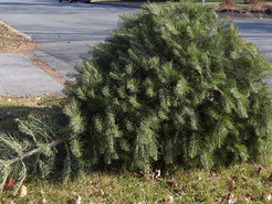 Montgomery County Department of Environmental Protection Accepting Holiday Trees for Recycling