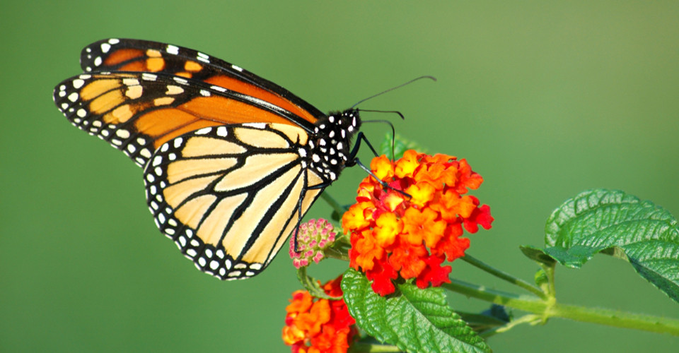 Central-America-Monarchs-Photo-1-flower.jpg
