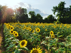 Thirty Acres of Sunflowers Expected to Peak in July to Early August