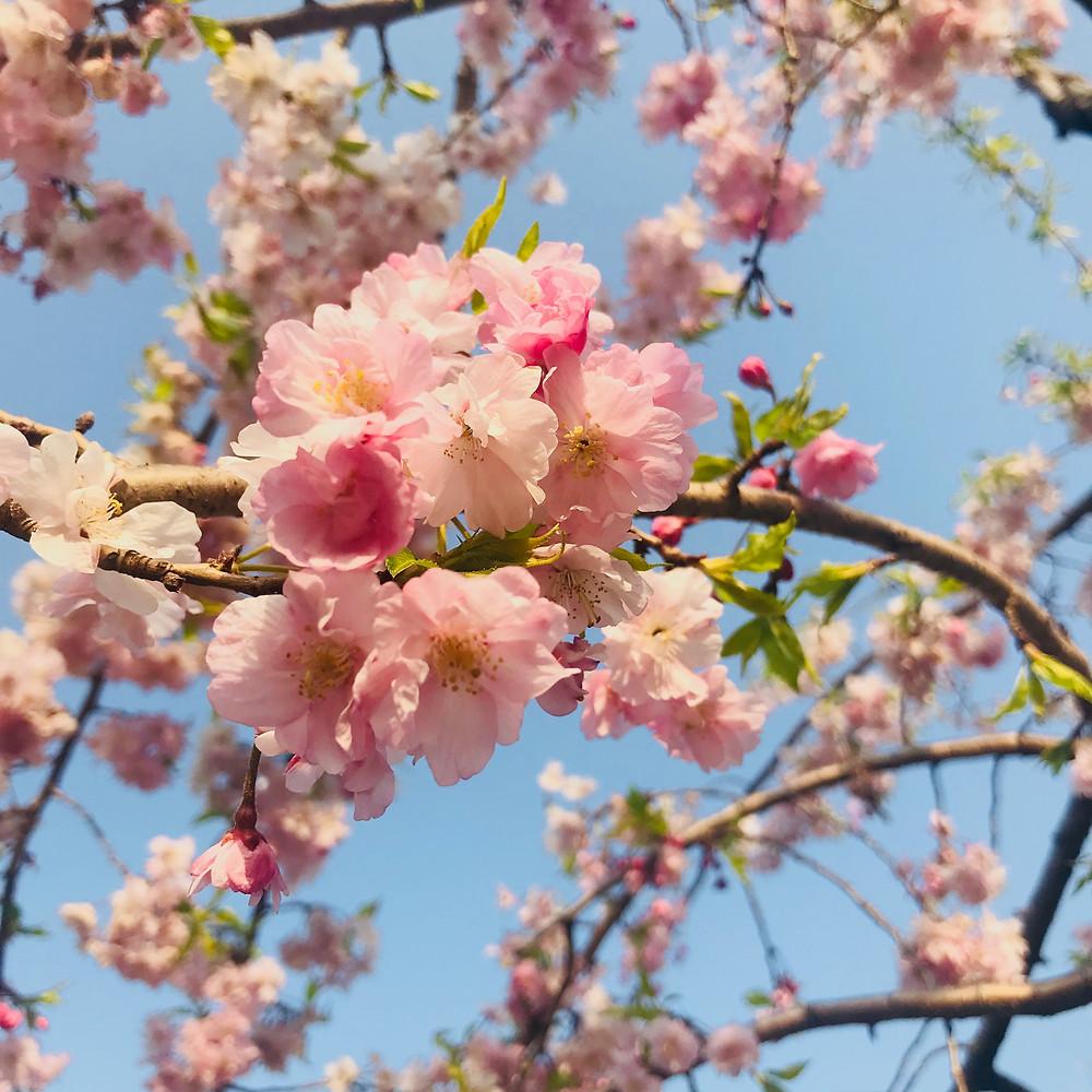 美容鍼,麻布十番,桜,春