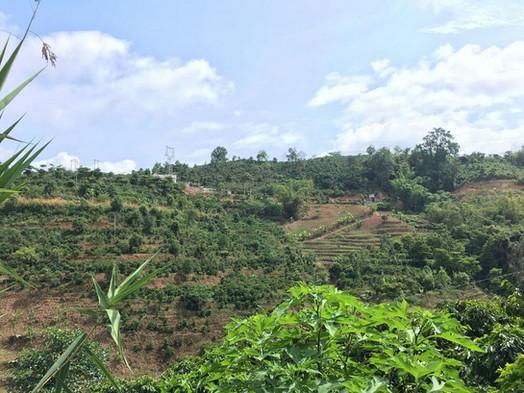 Pu'er mixed plantation