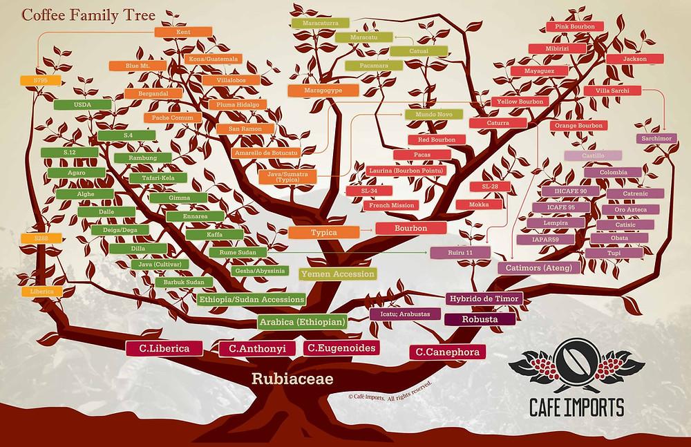 coffee variety tree