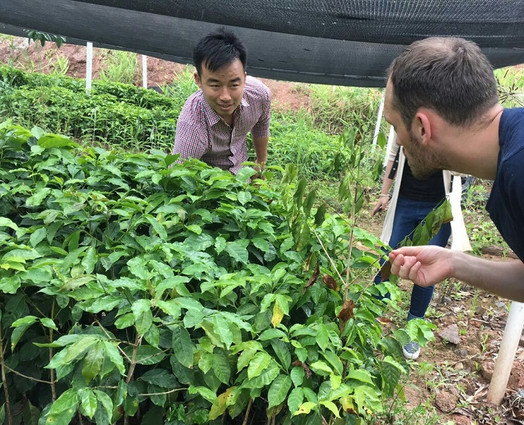 Chinese Coffee Trees