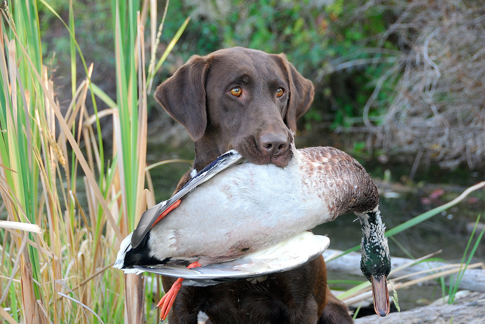 Chocolate Labrador Retriever with a Duc