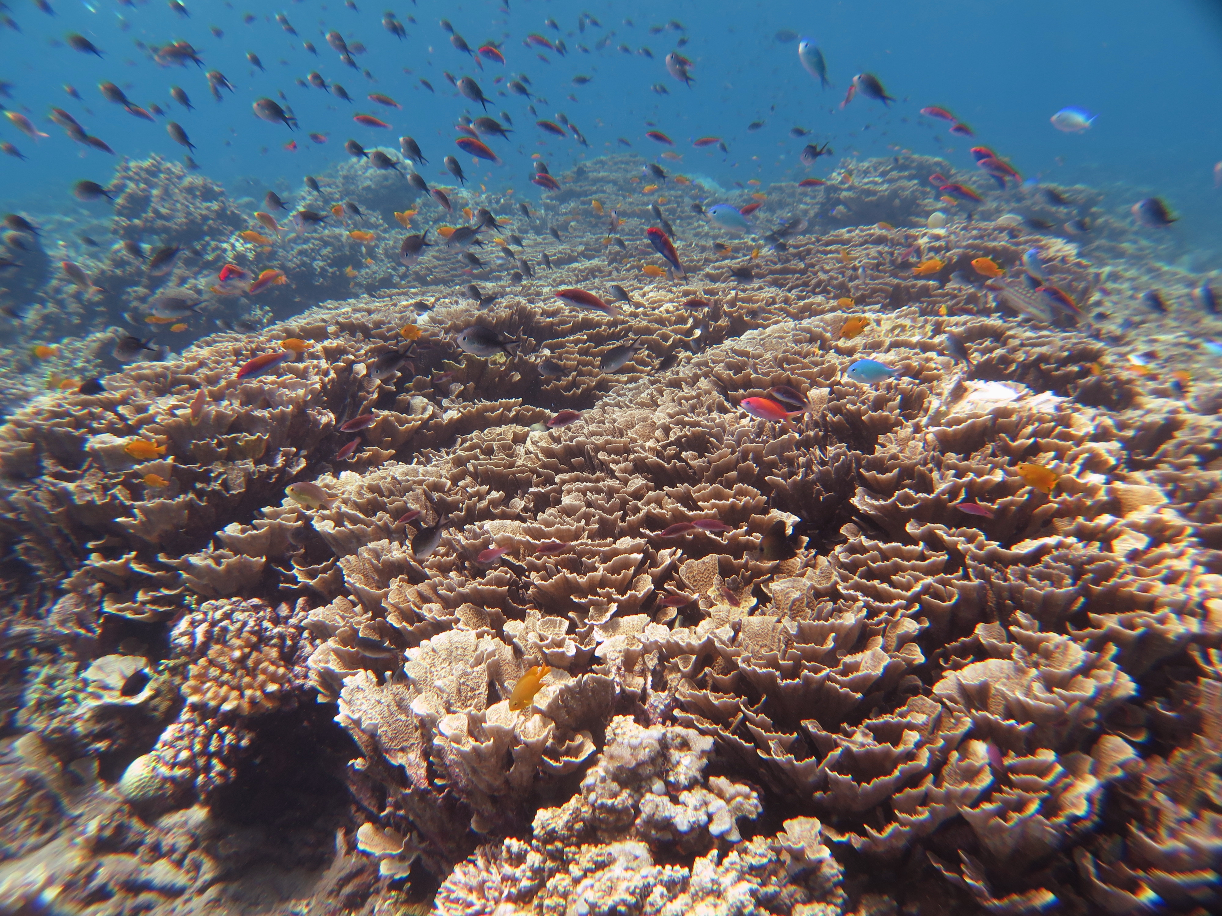 Hard Coral in Amed