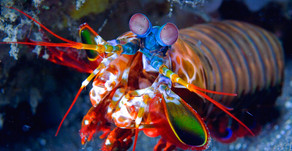 Peacock Mantis Shrimps fun facts