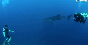 WHALE SHARK Day with Fun Divers Bali!