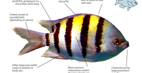 Do not mess up with the Damselfish…