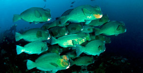 EARLY MORNING DIVE WITH A FAMILY OF BUMPHEAD PARROT FISH!