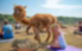 Island Alpaca Yoga 2019 GIRL and Cassiel