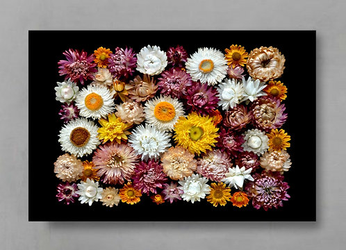 Paper Daisies ~ Large Colourful Floral Photography Print therandomimage.com
