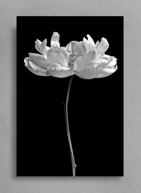 Black and White Peony ~ Large Floral Wall Art therandomimage.com