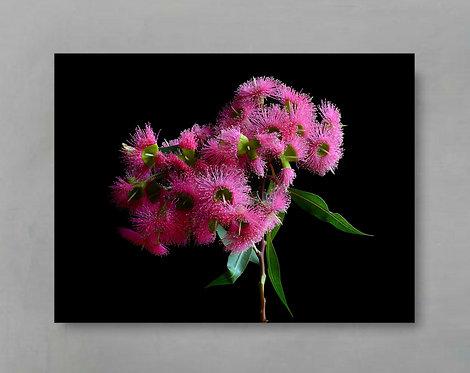 pink eucalyptus blossom artwork therandomimage.com