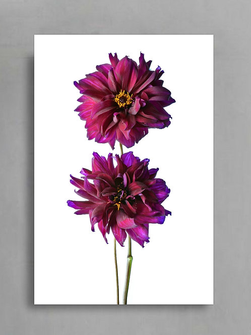 Dahlia Duo ~ Still Life Flower Photography therandomimage.com