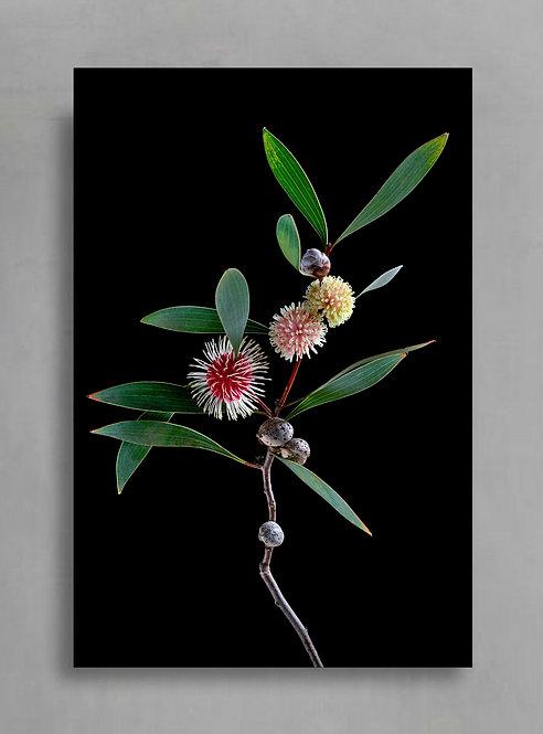 Hakea Laurina ~ Australian Botanical Photography Print ~ Colourful Floral Wall Art therandomimage.com