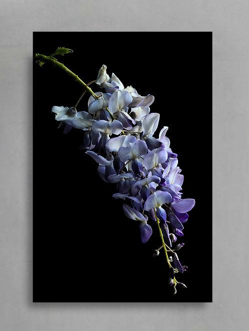 wisteria moody purple and black flower still life therandomimage.com