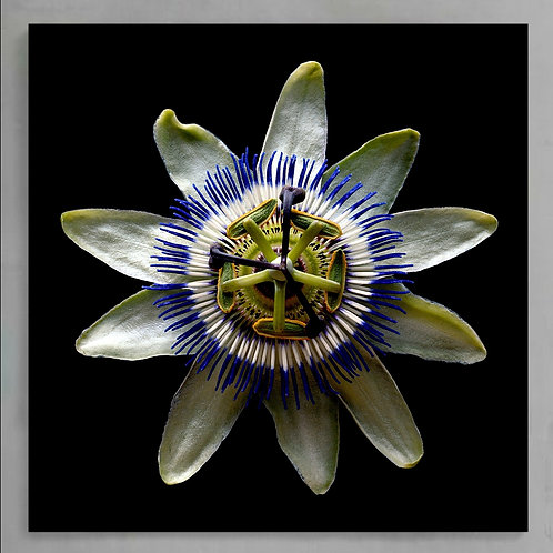 Passion Flower ~ Printable Digital Download therandomimage.com