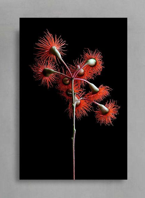 Orange Corymbia Ficifolia ~ Australian Nature Photography therandomimage.com
