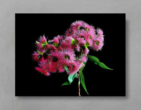 Summer Glory ~ Pink Eucalyptus Flowers therandomimage.com