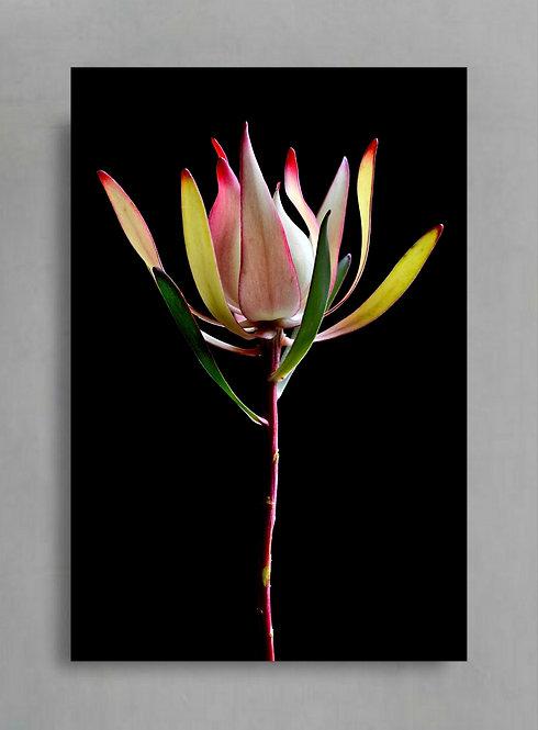 Leucadendron ~ Floral Wall Art ~ Flower Still Life Artwork by Nadia Culph therandomimage.com